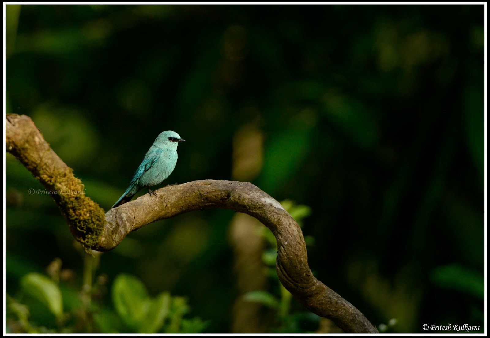 Verditer Flycatcher at Old Magazine House