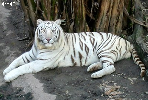 White Tiger at Nandankanan National Park
