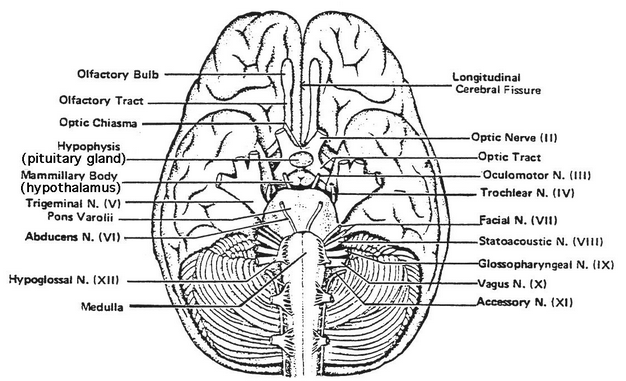 Cranial Nerves Answers Coloring Pages Sketch Coloring Page
