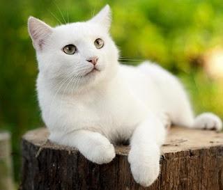 Arti Mimpi Kucing Putih