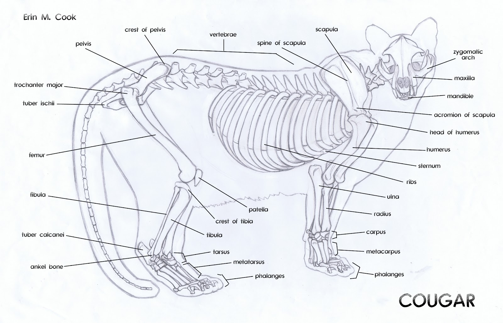 Deer Head Diagram, Deer, Free Engine Image For User Manual
