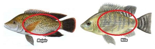 Gambar Perbedaan Ikan Nila Dan Mujair Pada Bentuk Tubuh