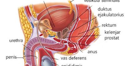 Mengenal Organ dan Alat Reproduksi Pada Manusia