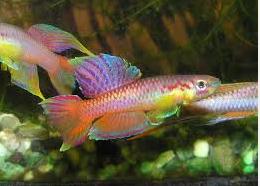 Ikan Hias Air Tawar Terindah kilfish berkelompok