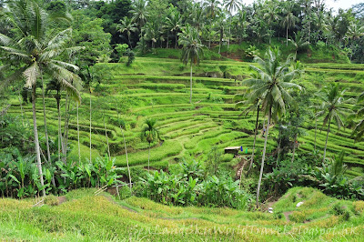 Tegalalang rice terrace 梯田