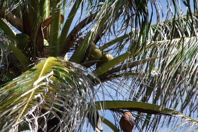 palm-tree 椰子の木
