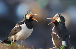 Ternak-Burung-Jalak-Suren