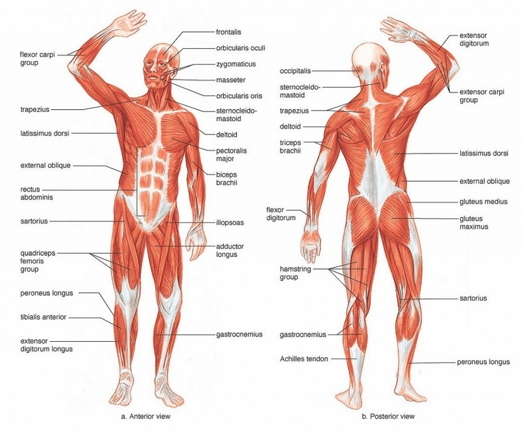 Muscle Anatomy Quiz Health Images Reference