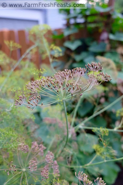 dill seed heads ready for harvest