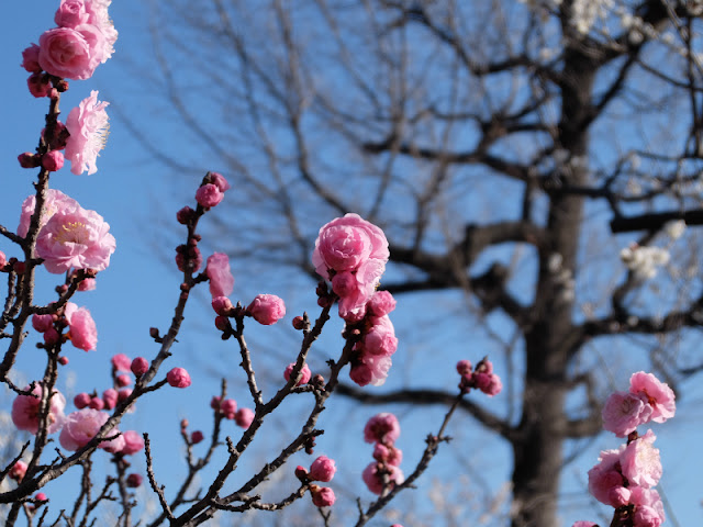 梅まつりで咲いていた梅の写真です。