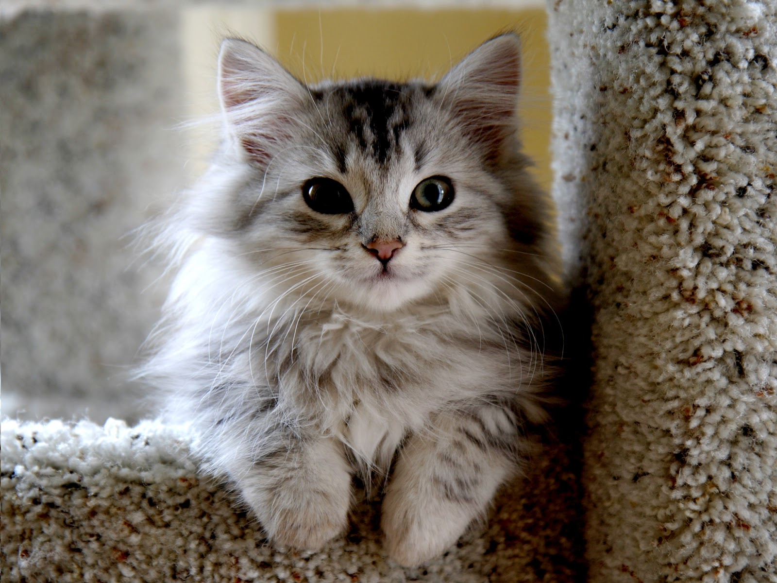 siberian cats - Wallpapers Free