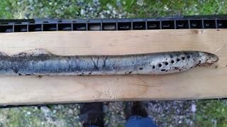 Ikan penghisap darah jatuh dari langit di Alaska