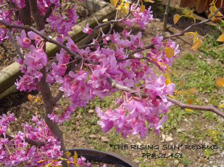 The Rising Sun Redbud - Jackson Nursery
