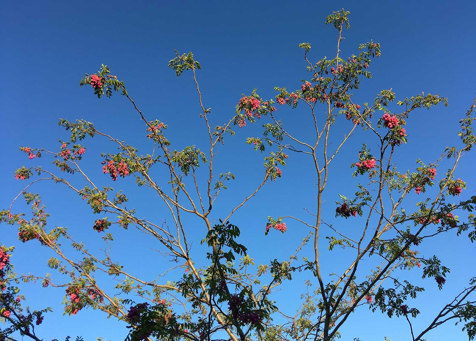 Copa de una acacia, en abril, al atardecer, Yecla