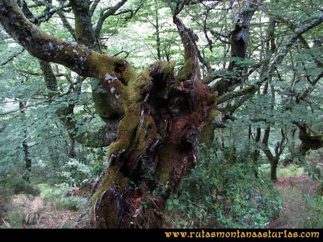 Ruta Bosques de Moal: Gran árbol