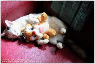 Gambar kucing putih dengan tompok hitam pada telinga tidur sambil memeluk seekor tupai atas sofa maroon