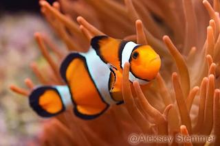 Clownfish / Ikan Badut