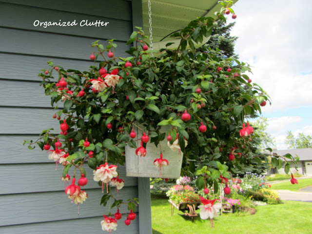 Swingtime Fuchsia in a Galvanized Bucket