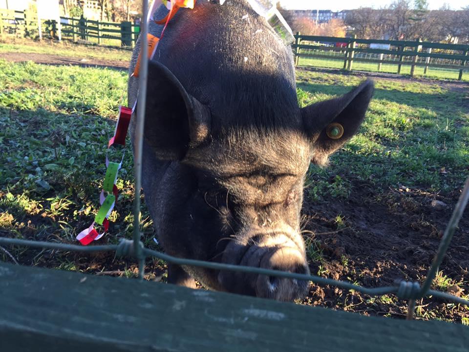 Posing piggy!