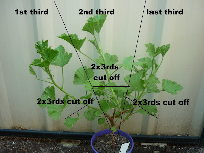 Rule of thirds for pruning a regal pelargonium