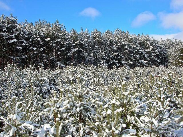 zima, las, śnieg, sosny