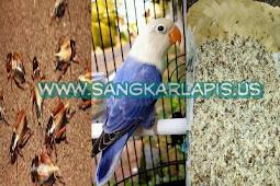 Manfaat Extra Fooding Untuk Lovebird Ngekek Panjang