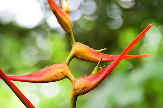 Heliconia in Puriscal