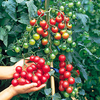 Benefits And Efficacy Of Cherry Tomatoes For Health - Healthy T1ps