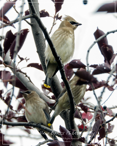 Juvenile Cedar Waxwings. Copyright © Shelley Banks, all rights reserved.