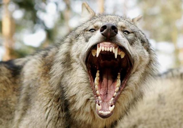 Lobo enseñando sus colmillos