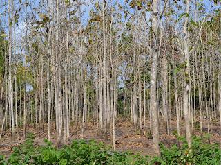 Pohon Jati yang menggugurkan daunnya saat musim kemarau