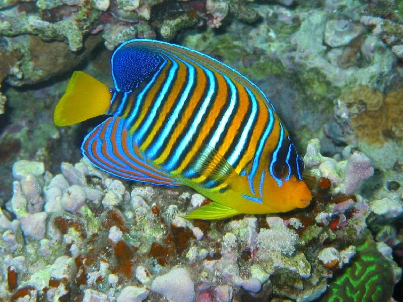 Gambar Ikan Laut angelFish
