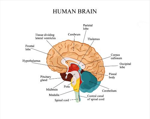 मानव मस्तिष्क  के बारे में रोचक बाते, तथ्य, Facts