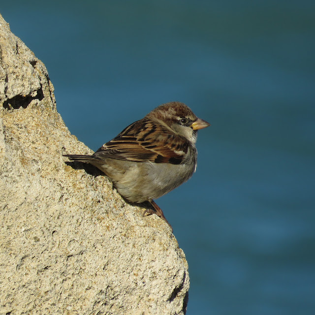 Sparrow on a rock by the sea, port of Livorno