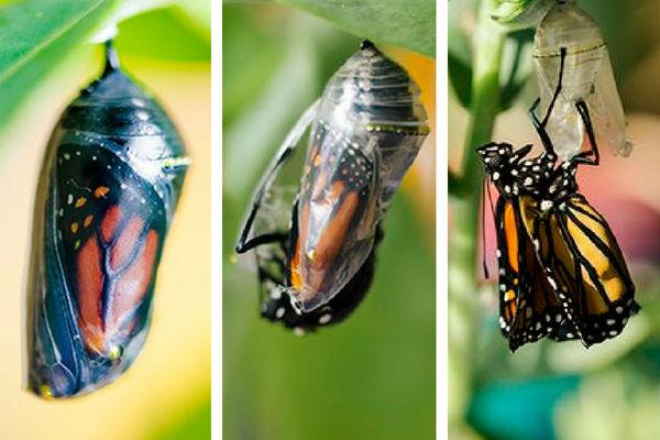 Los Insectos y su Evolución, como el estado de Crisálida o pupa, sufre una transformación completa.