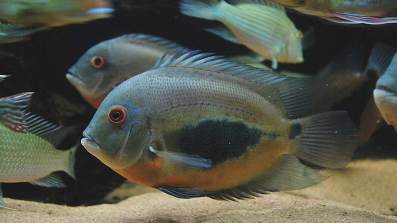 Freshwater fish beginning with r - Uaru Cichlid Fish Pictures_uaru Amphicanthiodes