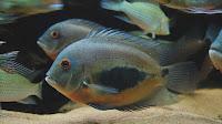 Uaru Cichlid Fish Pictures_Uaru Amphicanthiodes