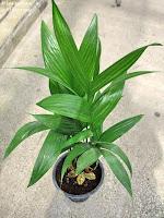 Plantas y flores palmeras de interior for Plantas de interior tipo palmera