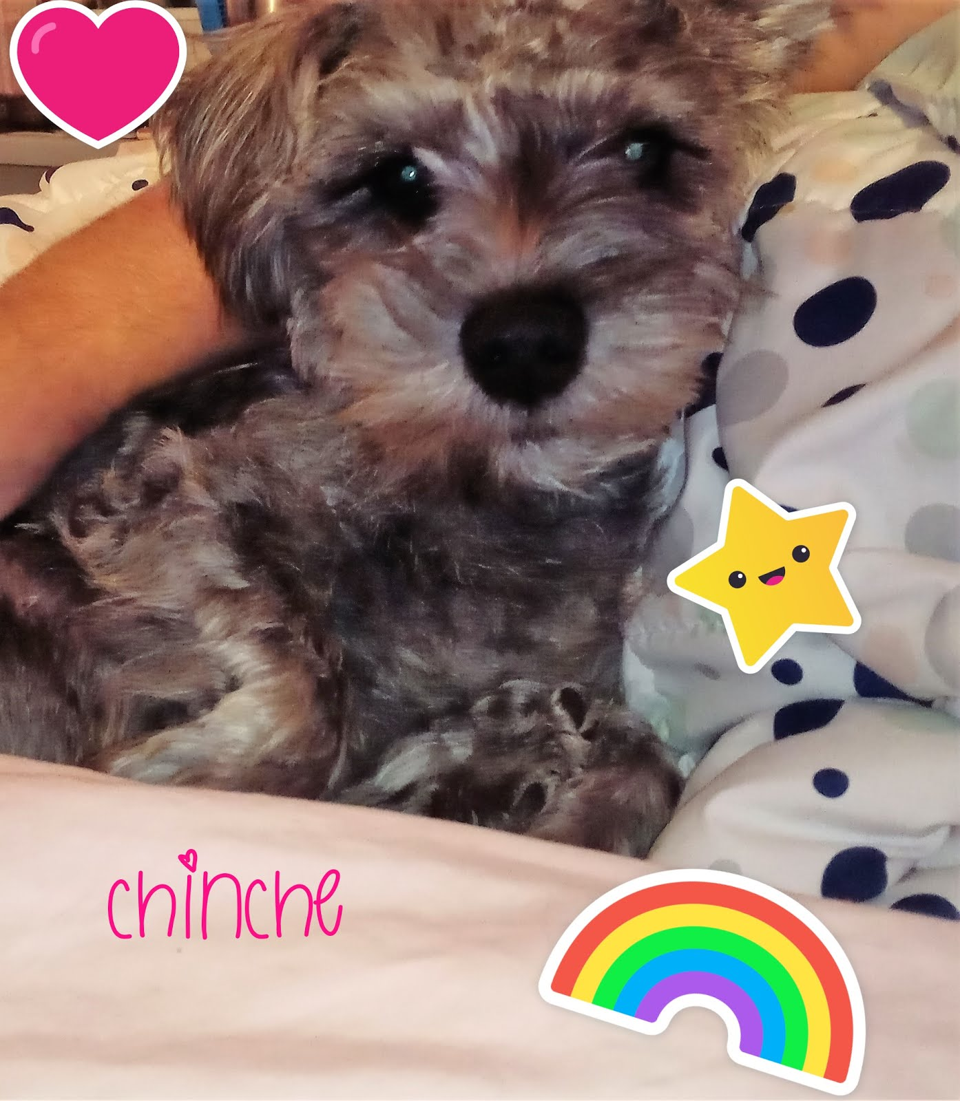My Baby Dog Chinche