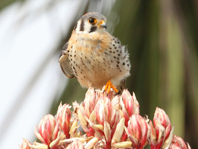 american kestrel on a blomming yucca
