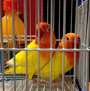 Jenis Mineral Tambahan Dan Vitamin Burung Lovebird Yang Sesuai
