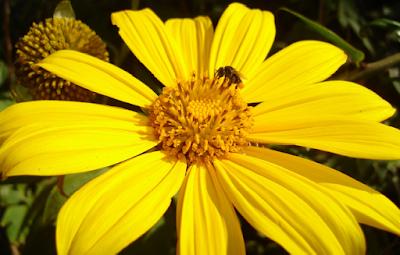 Abelha irapuá (Trigona spinipes)