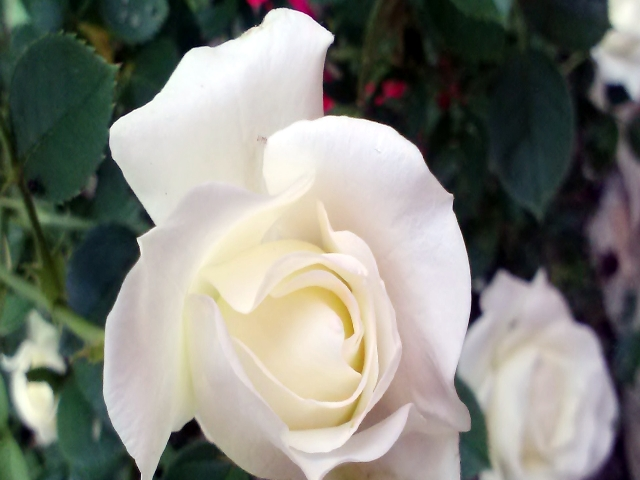 White Rose in flower bed #garden