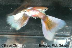 Gold Pestel Guppy