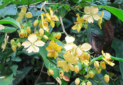 golden shower tree, Cassia fistula