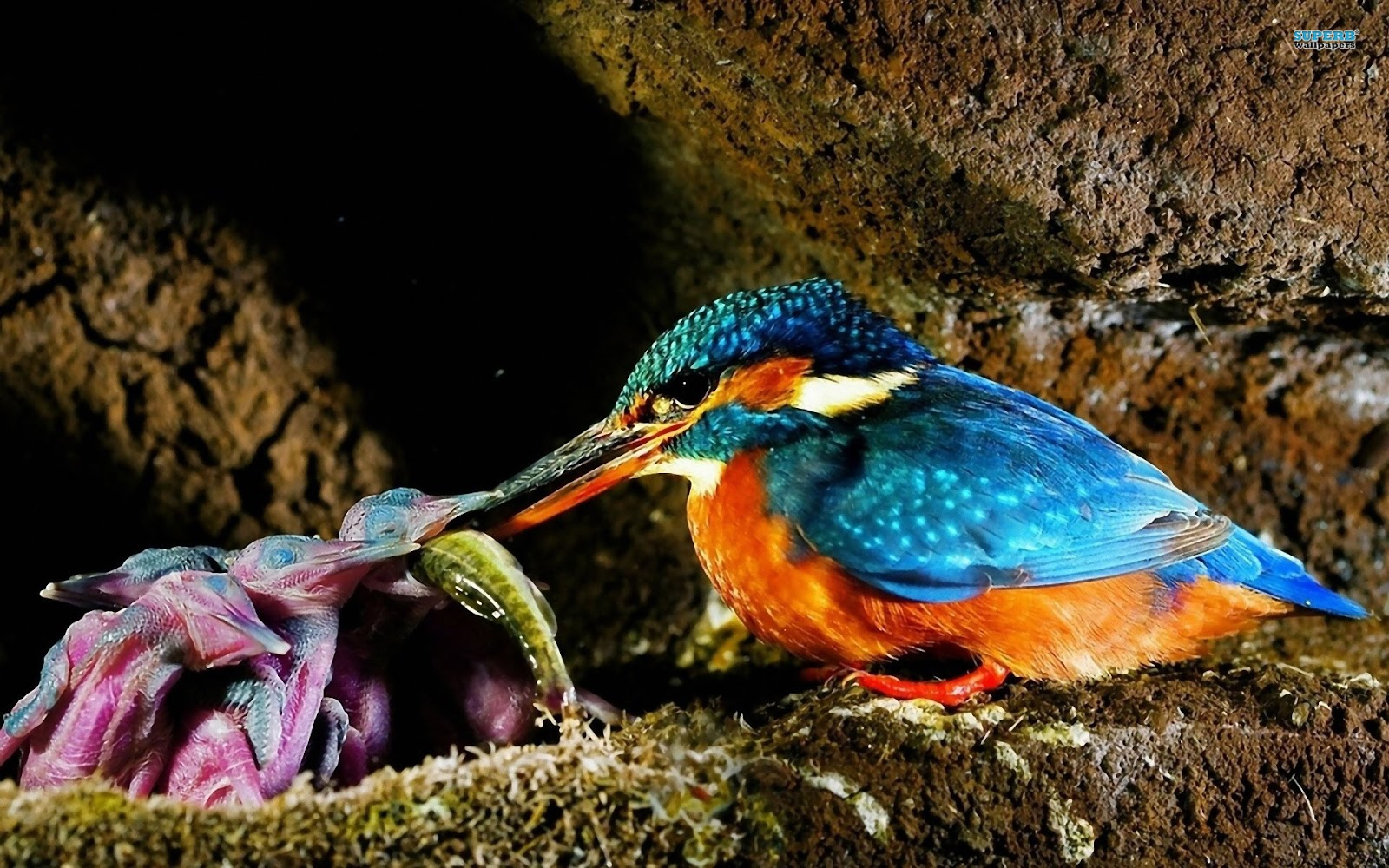 WildLife: Malachite Kingfisher Beautiful Bird Of The World