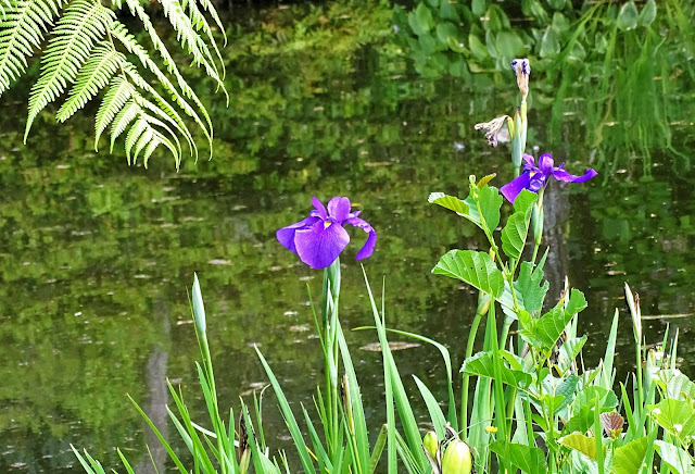A Lovely Wild Form Of Iris Ensata Still Blooming At The Equivalent Late July