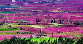Κήποι του Μίδα: Πού στην Ελλάδα ο κάμπος κάθε άνοιξη γίνεται ροζ