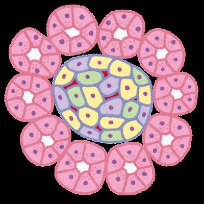 膵細胞のイラスト