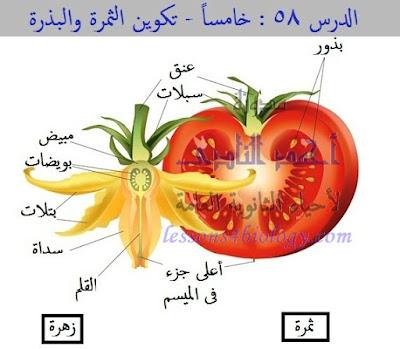 تكوين الثمرة والبذرة فى النباتات الزهرية